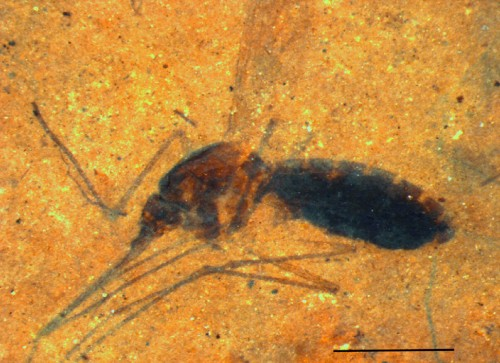 Blood-sucking mosquito's final meal preserved in 46-million-year-old fossil