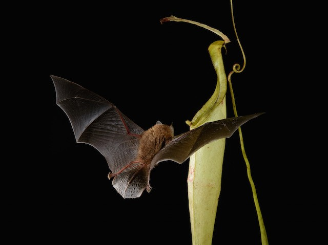 This carnivorous plant is shaped to help bats find it, so bats can sleep and poop inside