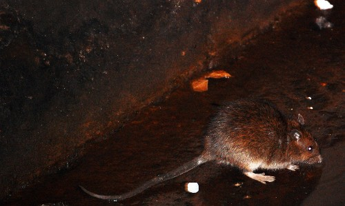 NYC rats are infected with at least 18 new viruses, according to scientists