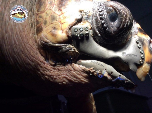 Sea turtle given a 3D-printed jaw implant after boat accident