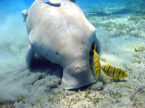 The Verge Review of Animals: the dugong