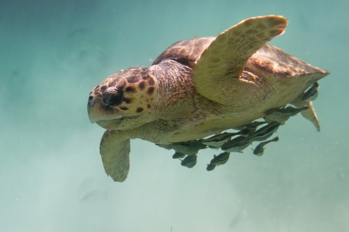 Global warming could make male sea turtles disappear