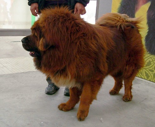 China zoo faces uproar after 'African lion' revealed to be a dog