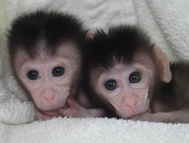 First monkeys with custom genetic mutations could revolutionize human disease research