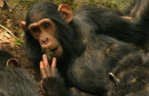 Wild chimps learning to use tools from each other may hint at humanity's past