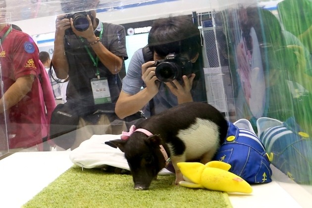 This genetically altered micropig is being sold for $1600