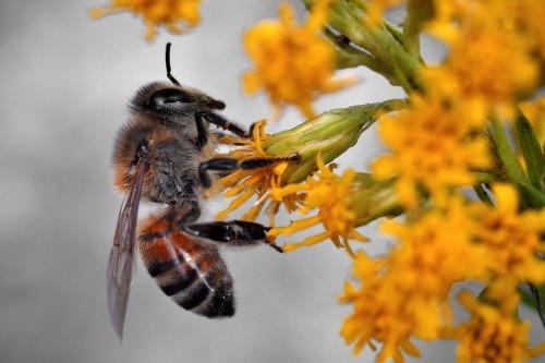 Scientists want to put sensors on bees to save them from extinction