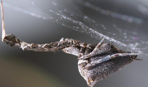 This spider combs its tiny silk threads to make them extra sticky
