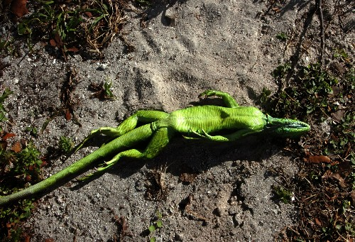 Cold with a chance of falling iguanas, Miami National Weather Service warns