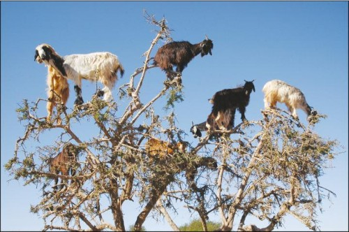 These tree-climbing goats disperse seeds by spitting instead of pooping them out, study says
