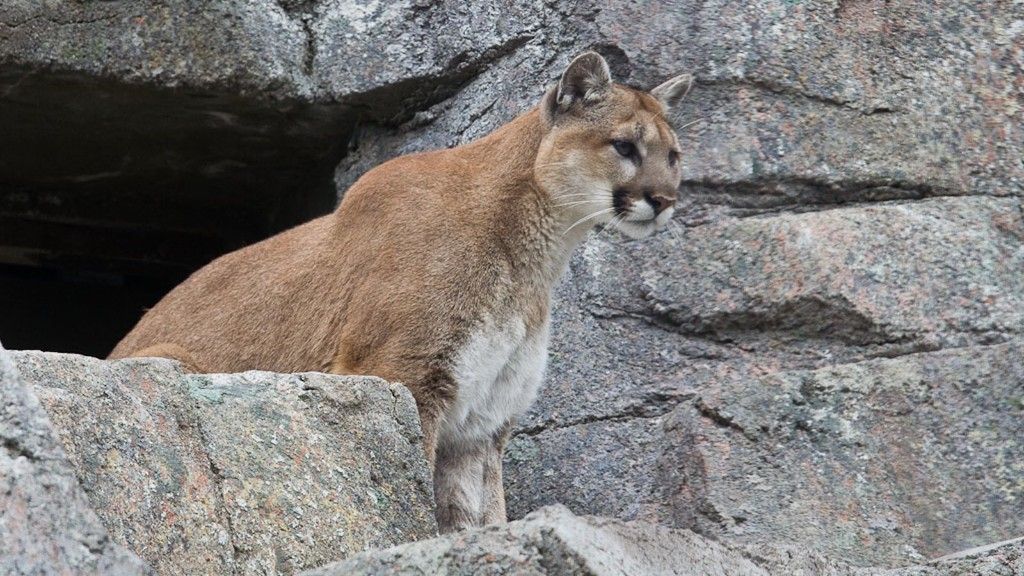 How 10,000 cougars could prevent hundreds of automobile accidents