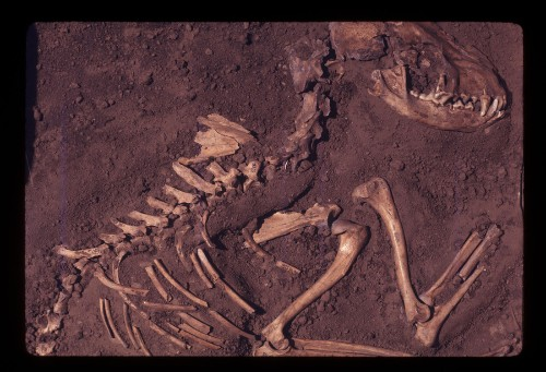 DNA evidence suggests that dogs were domesticated in Europe