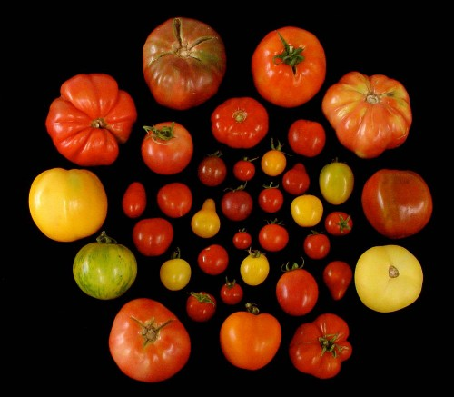 We now have the genetic recipe for making tomatoes taste like tomatoes again