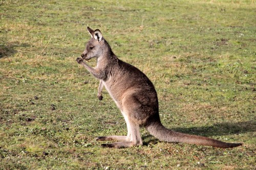 Volvo's self-driving cars are having trouble recognizing kangaroos