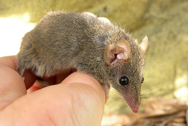 Three new species of marsupial with suicidal sex habits discovered