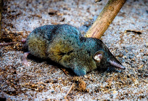 Newly-discovered ridiculously strong shrew species helps explain strange spine design