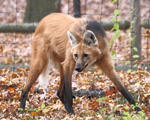 The Verge Review of Animals: the maned wolf