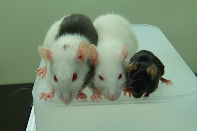 Mice cured of diabetes by cells grown inside rats — are humans next?