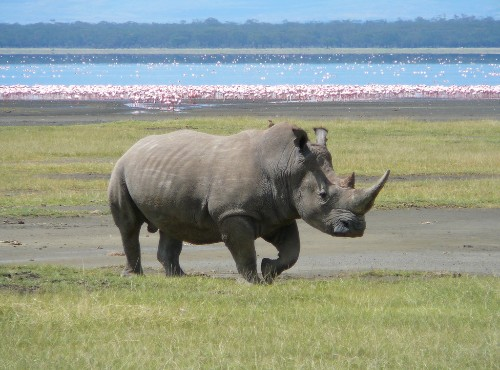 Microchip implants could stop rhino poaching