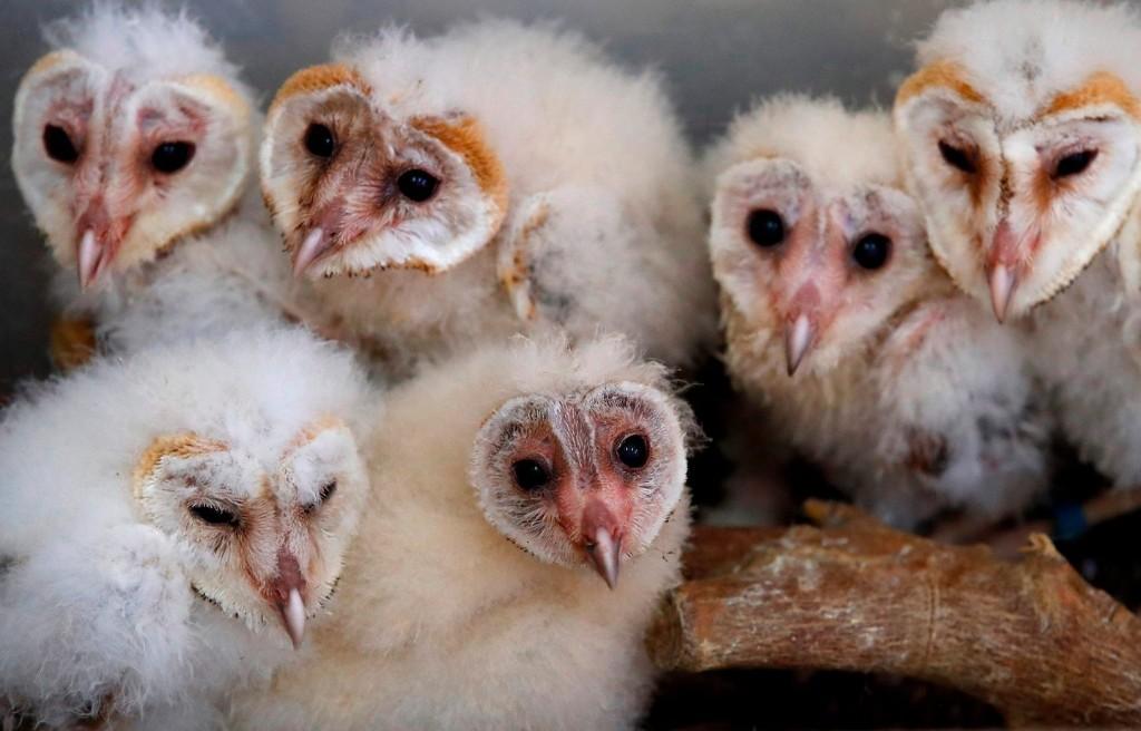 Barn owl siblings share their food in exchange for grooming