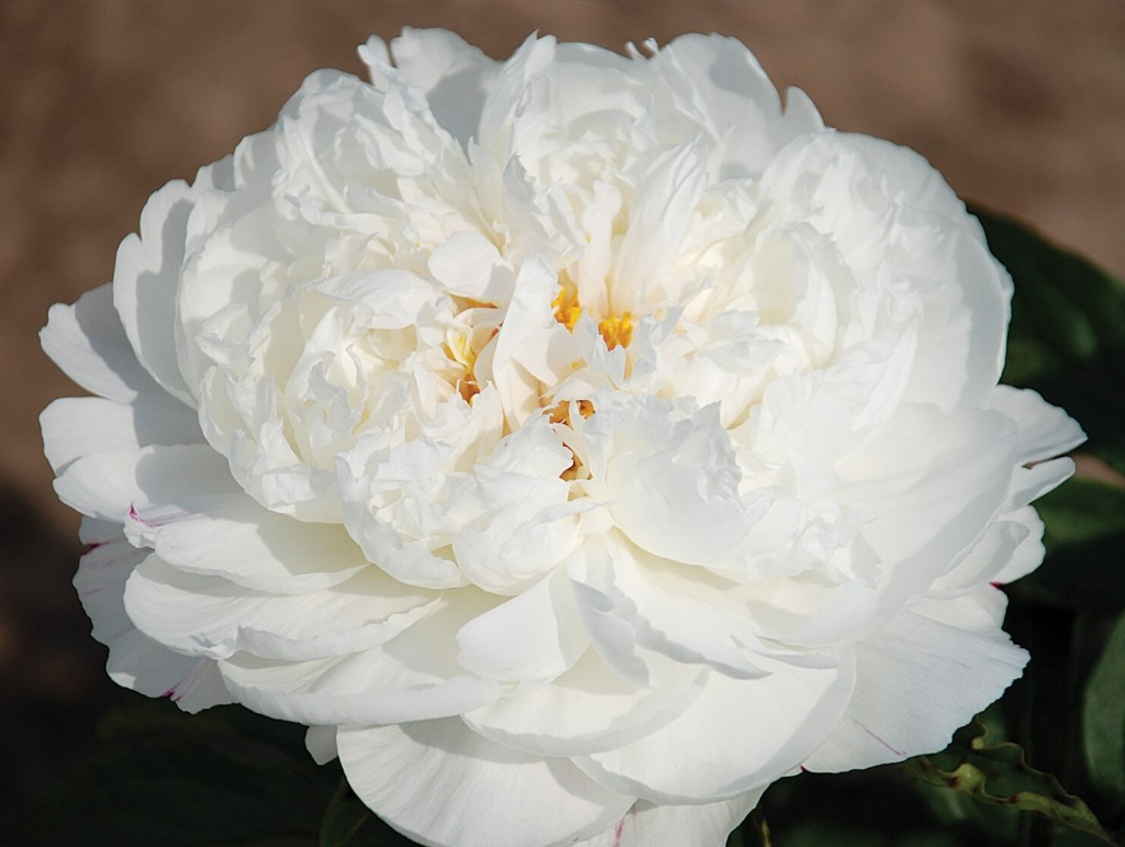 Peony passion: A garden icon blooms anew in the age of social media