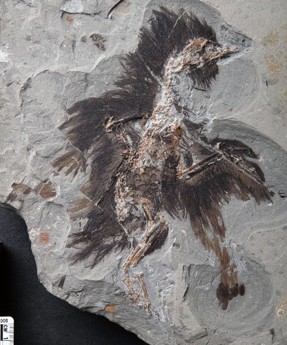 This ancient Chinese bird kept its feathers, and colors, for 130 million years