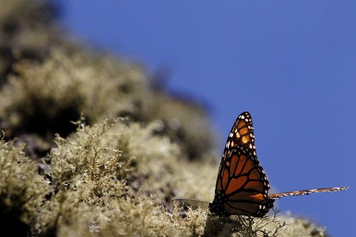 Monarch butterfly migration was off this year and researchers are worried