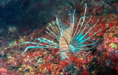 Stinging lionfish are invading the Mediterranean, and scientists fear 'ecological disaster'