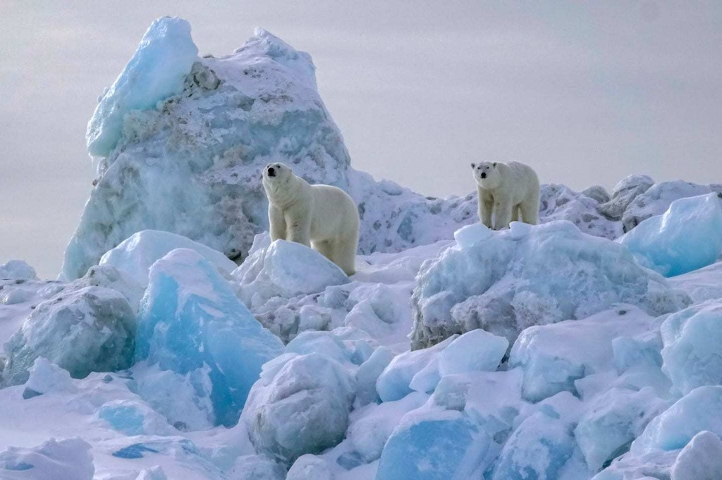 Trump official stalls polar bear study that could affect oil drilling in Alaska