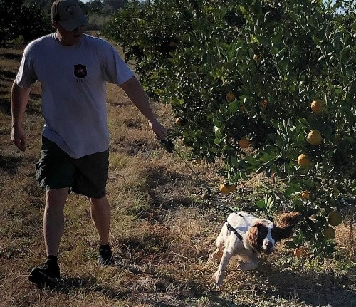 Dogs are helping save Florida's citrus groves from a devastating disease