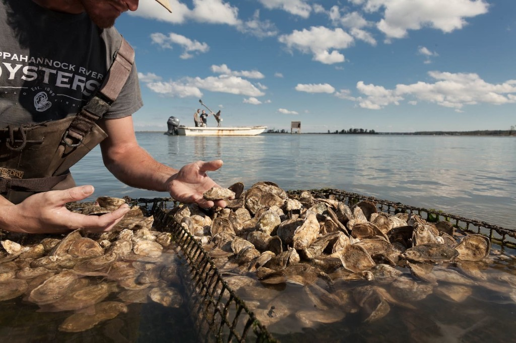 With restaurants closed, oyster farmers need home cooks to start shucking