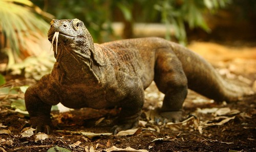 Komodo dragon blood might save human lives. Getting it isn't easy.