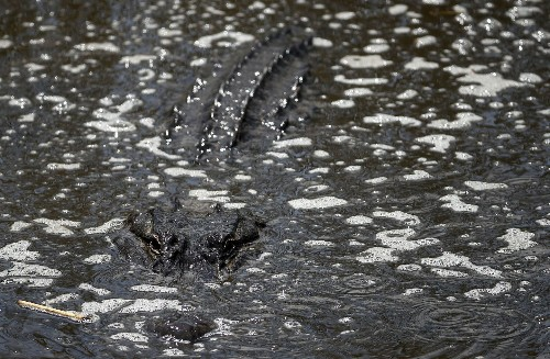 A woman was walking her dog by a lagoon. Then an alligator pulled her underwater, police say.