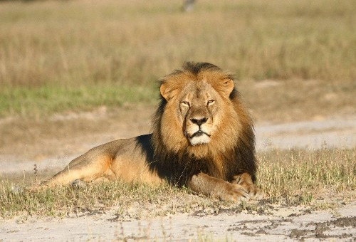 2 subspecies of lion will be added to the endangered species list, activists say