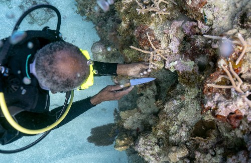 Coral gardeners slowly restore Jamaica's 'forest under the sea'
