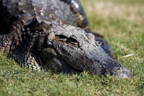 Mom, 2 children die after striking alligator on South Carolina interstate, authorities say