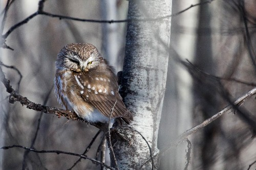 New York, the Saw-Whet Owls Are Upon Us. Obey Them or Risk Their Wrath.