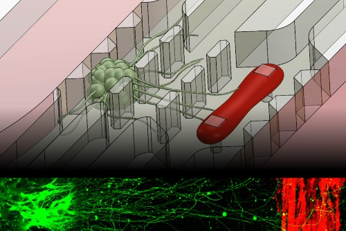 MIT creates a chip that simulates the connection between nerves and muscle
