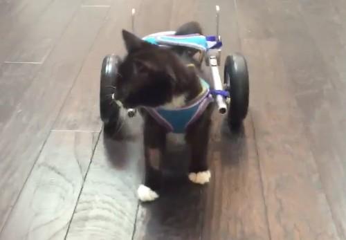A Cute Kitten Can Walk Again Thanks To 3D-Printed Wheels