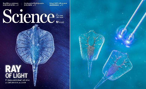 This artificial stingray has a gold skeleton and light-activated rat muscles