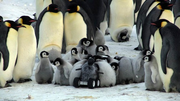 Researchers Send Robotic Penguin Babies In To Monitor Real Penguins