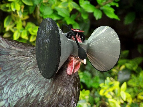 An Oculus Rift For Chickens Gives Animals The Freedom To Roam Without The Roaming