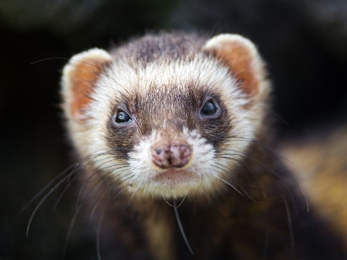 Endangered ferrets are being saved by drones that drop vaccine-laced M&Ms